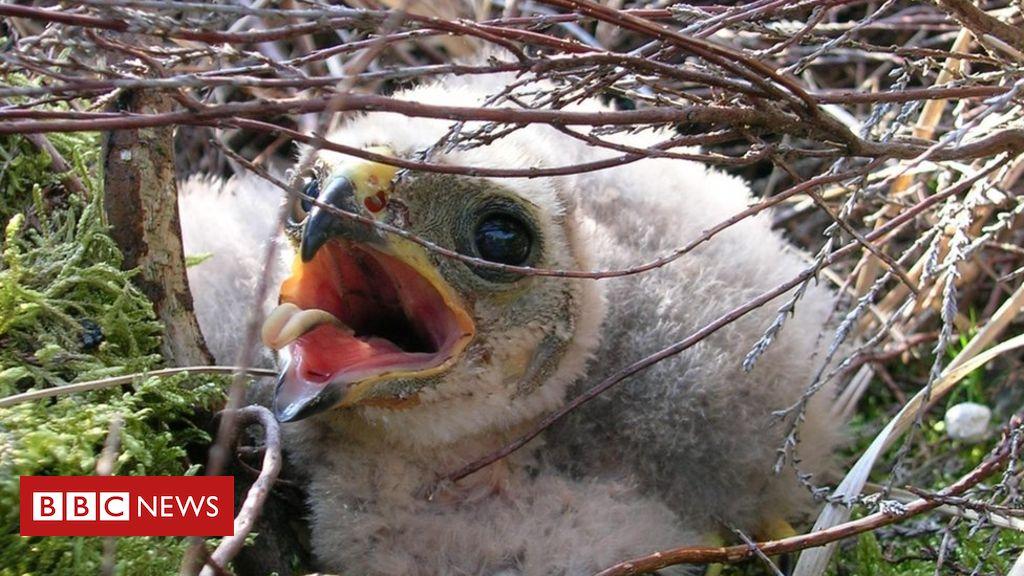107346115 mediaitem107346114 - Bowland hen harrier chicks give 'hope for future'