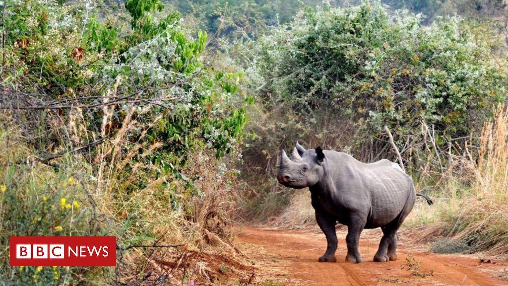 107472441 mediaitem107472440 - Rhino release: European parks bring animals to Rwanda