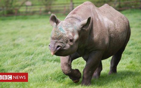 107640692 zambezi - Black rhino dies on way to release in wild