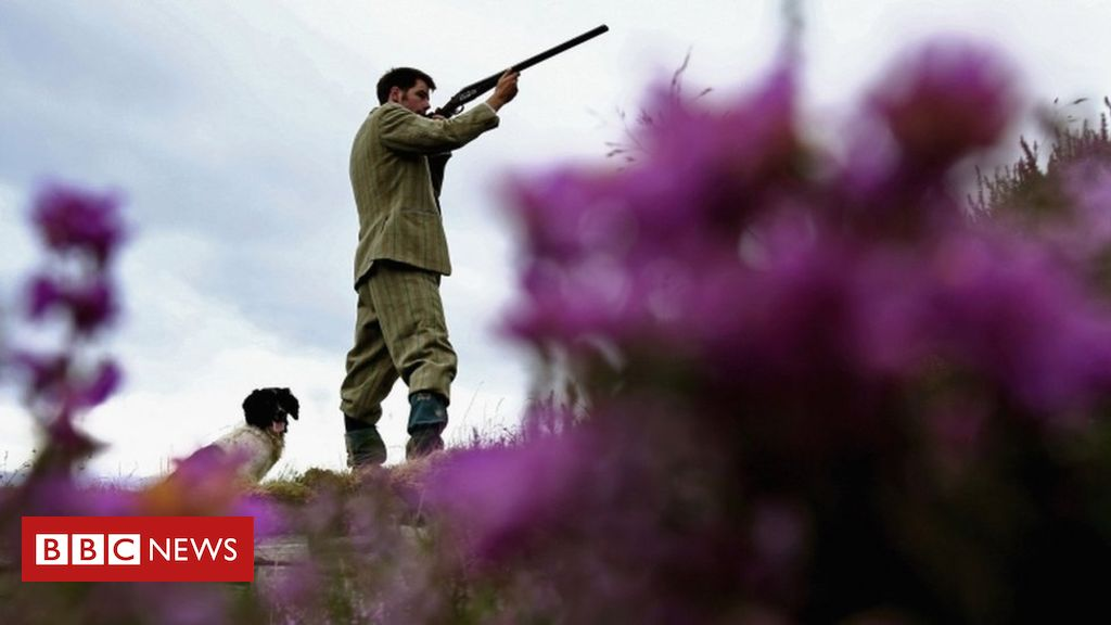 108287282 023338359 - Beetles threaten Yorkshire's purple heather moorland