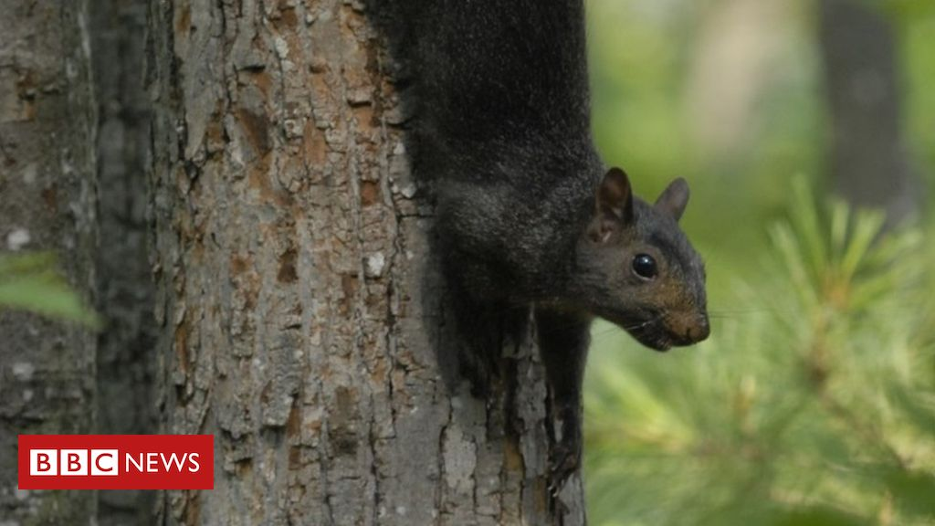 108296097 amelanicorblackgreysquirrel.pleasecreditphilipmeyers - Black squirrels the result of 'interbreeding' grey squirrels, study finds