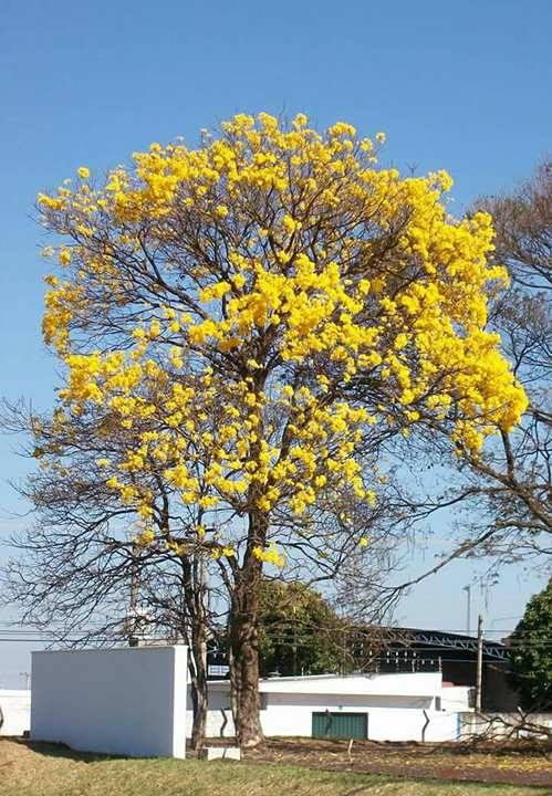 Florada dos ipês amarelo e rosa podem durar de sete a 10 dias