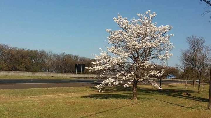 Florada do ipê branco dura no máximo quatro dias