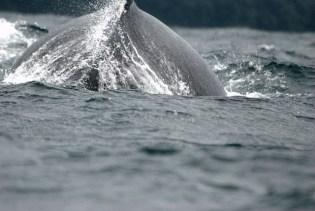 Vista de ballenas. Foto flickr Luis Alejandro Bernal...
