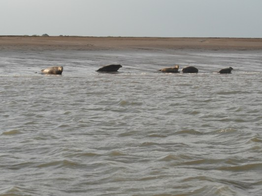 In the Swale 21 June 2013 seals