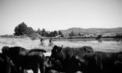 The National MTB Series riders were greeted by some cows en route to the finish in Dullstroom, Mpumalanga, yesterday.