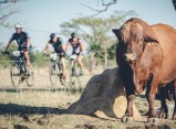Riders got a view of some cattle during stage two of the Berg and Bush 'Great Trek'. Photo: Em Gatland