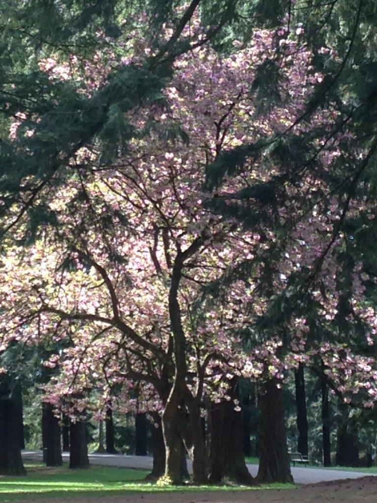 Flowering trees Mt Tabor Park