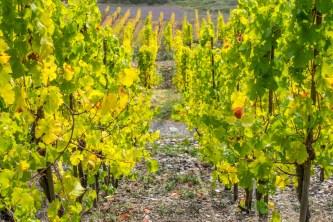Kräftiges Grün der Weinreben
