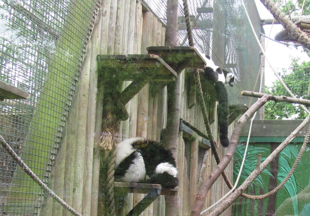 lovely black and white lemurs paradise wildlife