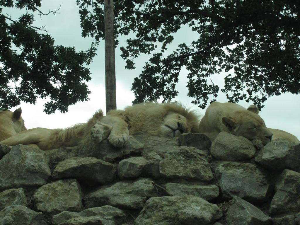 sleeping lions on a rock