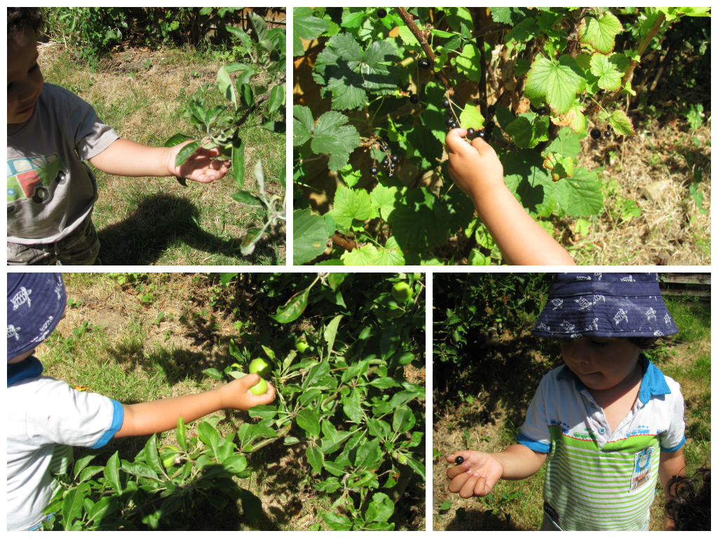 picking fruits in the garden, berries and apples