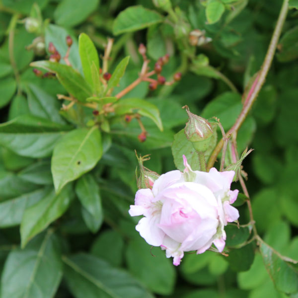 pale pink rose at kenilworth castle