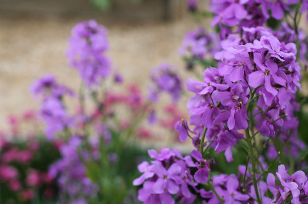 purple flowers at kenilworth castle gardens
