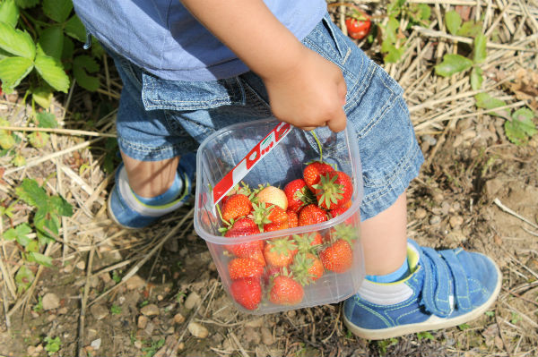 pick your own strawberries - strawberry picking with toddlers