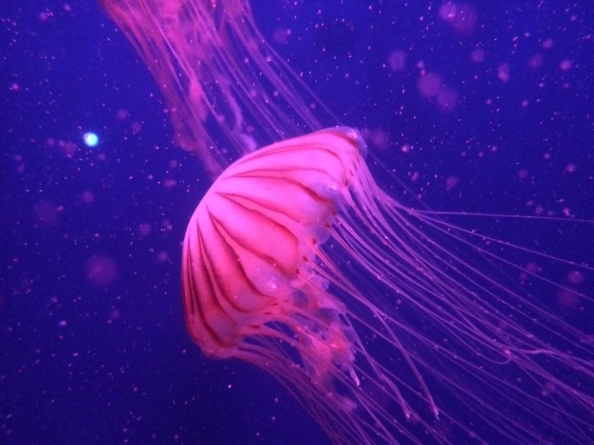 jellyfish at the london aquarium