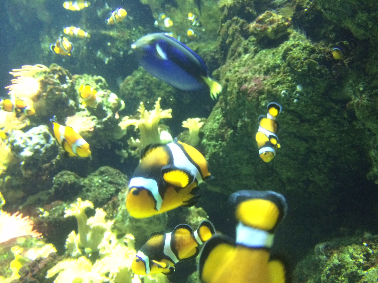 clown fish at nemos cove at the london aquarium
