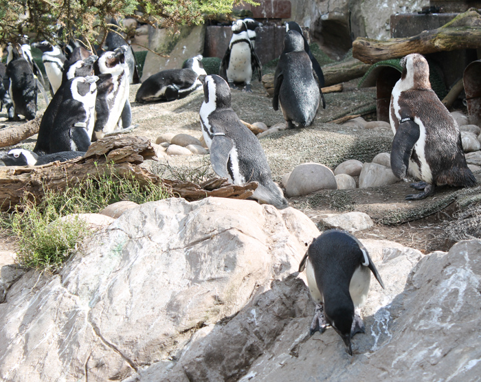 african penguins at bristol zoo gardens