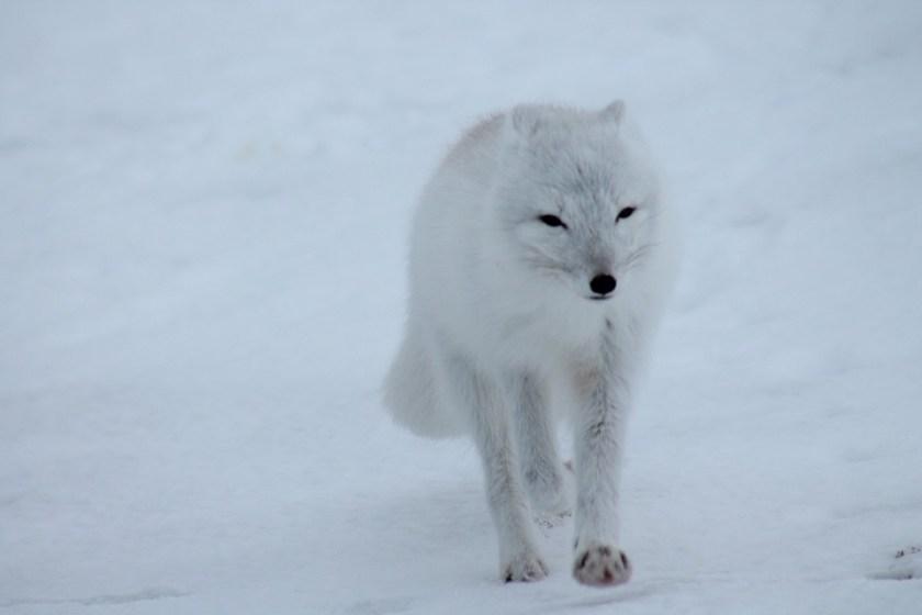 polar-fox-404310_960_720