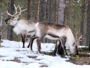 reindeer-697283_960_720