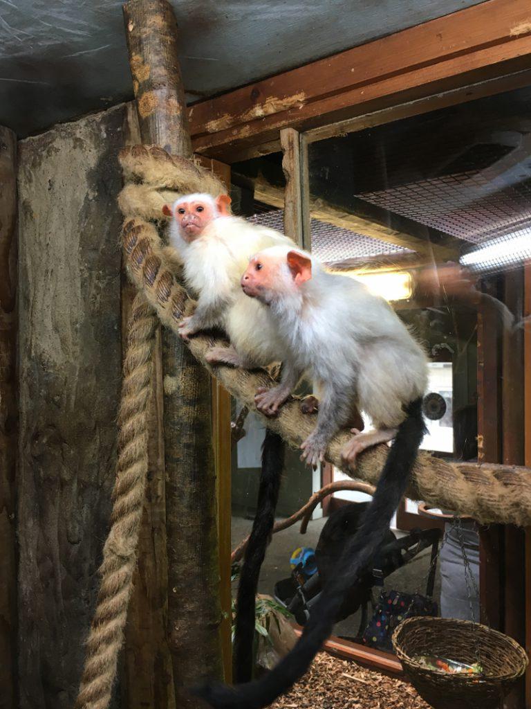 monkeys at drusillas