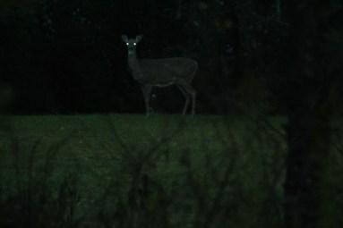 TD_Deer