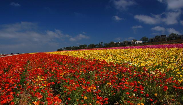 photo of Flower Fields of Carlsbad by Bill Gracey