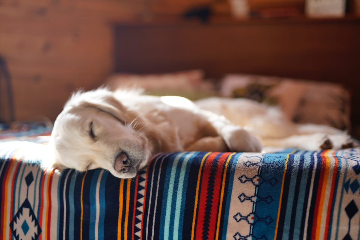 yellow lab dog sleeping on a southwestern blanket