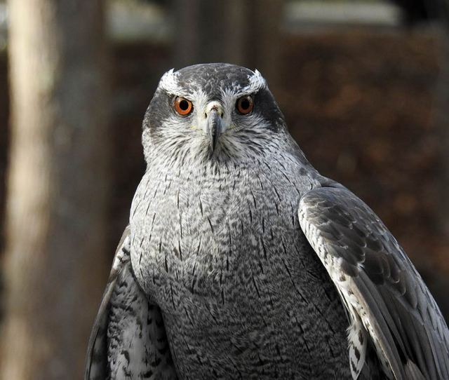 The Goshawk Is Bulkier Bloodier Deadlier Scarier Than Other Hawks