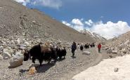 Yaks passing by
