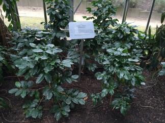 Coffee tree, coffea arabica