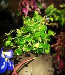 Shinybush (Peperomia Pellucida); succulent stems, heart shaped, shiny leaves
