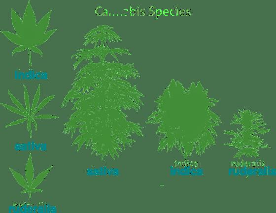 three cultivars of the cannabis plant, via Wikipedia creative commons