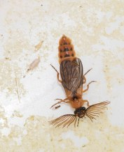 Phengodes laticollis, Glowworm