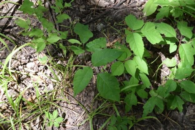 Poison Ivy alongside the trail.