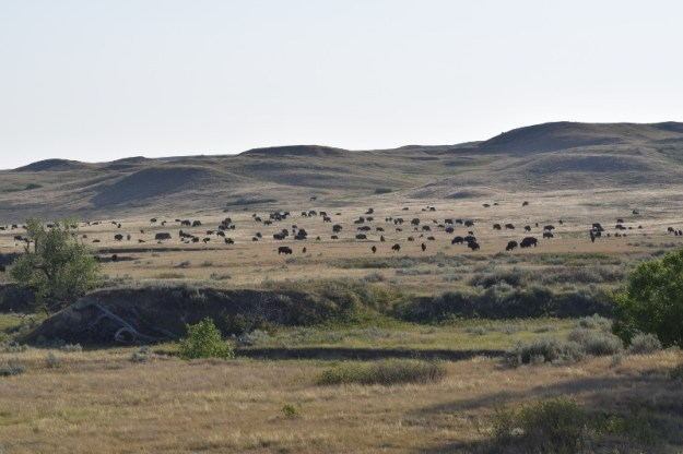 Herd of bison in the badlands backcountry