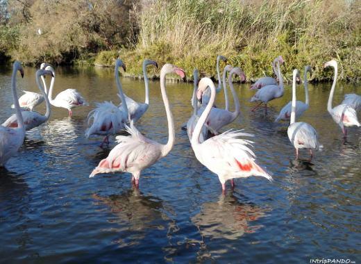 fenicotteri al parco ornitologico di Saintes Maries de La Mer