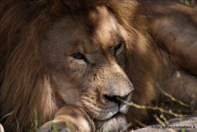 Leone nel parco nazionale Hwange