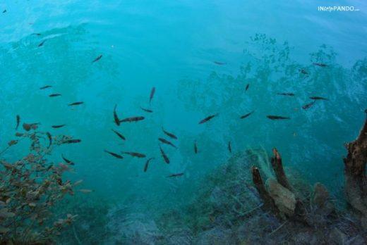 pesci nelle acque trasparenti dei laghi di Plitvice