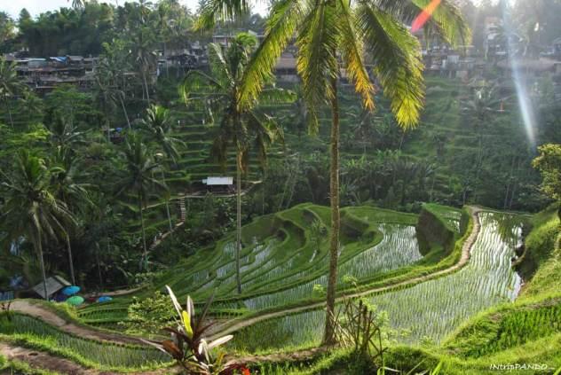 Terrazze di riso a Tegalalang