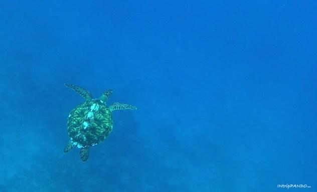 Tartaruga nelle acque di Gili Meno