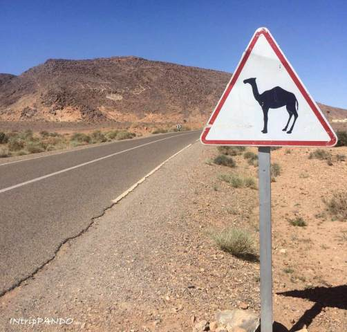cartello di pericolo cammelli in Marocco