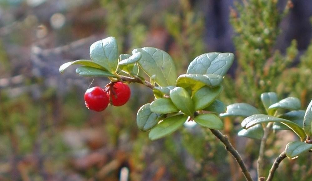 Cranberries, Nordics, introvert travel