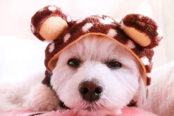 マルプーというミックス犬~カットで違う見た目や性格、値段や寿命は?