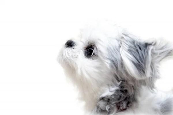 チワマル(チワワとマルチーズ)というミックス犬~成長した見た目や性格は?