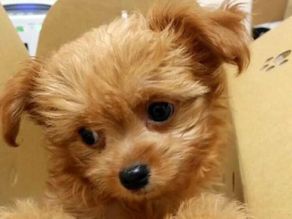 チワプーというミックス犬~見た目や体重・性格、子犬の値段や里親は?