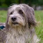 雑種犬のメリットとデメリット~実際飼っている人や好きな人の意見多数