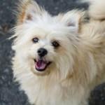 ポメプーというミックス犬~見た目の画像や性格、子犬の値段や里親は?