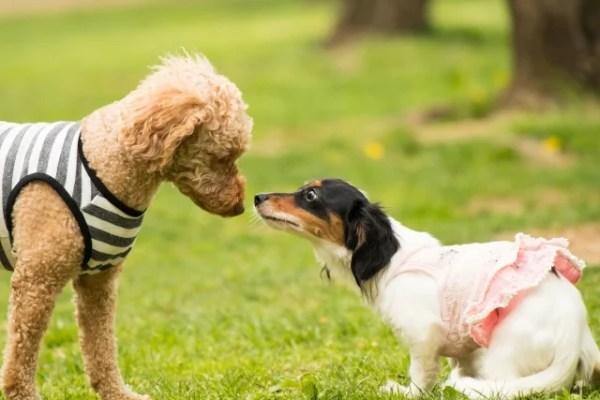 ダップーというミックス犬~見た目や性格・寿命、子犬の値段や里親は?