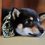 ポメラニアンを柴犬カットにしたら柴犬になるのか?